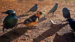 TDE-Benny-Rebel-Fotoworkshop-Suedafrika-Haubenbartvogel