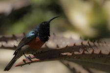 TJ-Benny-Rebel-Fotoreise-BindennektarvogelSuedafrika