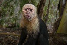 UA-Benny-Rebel-Fotoreise-Costa-Rica-Weiss-schulter-Kapuzineraffe