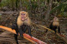 UB-Benny-Rebel-Fotoreise-Costa-Rica-Weiss-schulter-Kapuzineraffe