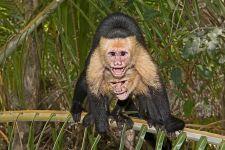 UC-Benny-Rebel-Fotoreise-Costa-Rica-Weiss-schulter-Kapuzineraffe