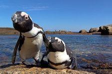 UGAA-Benny-Rebel-Fotoreise-Suedafrika-Brillenpinguin
