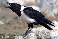 UGZ-Benny-Rebel-Fotoreise-Suedafrika-Pied-Crow