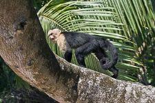 UH-Benny-Rebel-Fotoreise-Costa-Rica-Weiss-schulter-Kapuzineraffe