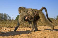 VB-Benny-Rebel-Fotoreise-Suedafrika-Pavian