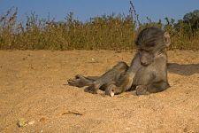 VC-Benny-Rebel-Fotoreise-Suedafrika-Pavian