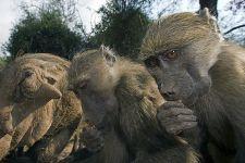 VJ-Benny-Rebel-Fotoreise-Suedafrika-Pavian