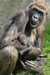 ZHT-Benny-Rebel-Fotoreise-Gorilla