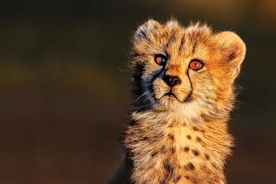 Fine Art Print, Benny Rebel, cheetah baby,
