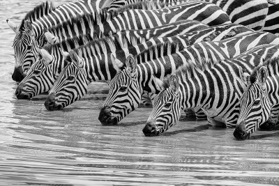 drinking Zebra, Fotosafari, Afrika, Benny Rebel,