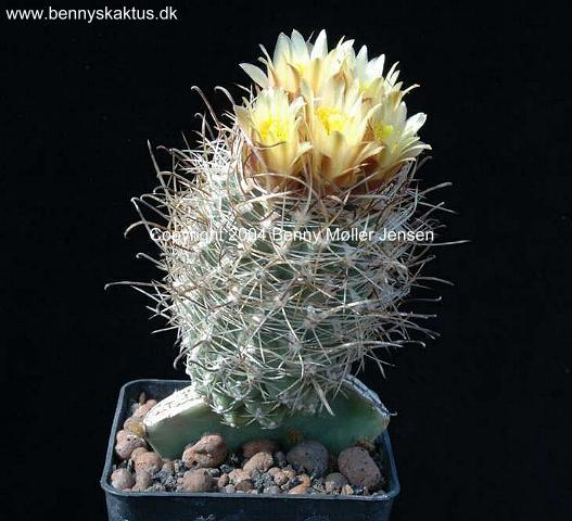 Photos of hardy Sclerocactus