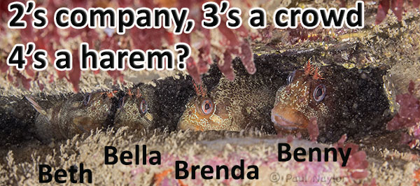 3 female tompot blennies visiting a male at the same time.