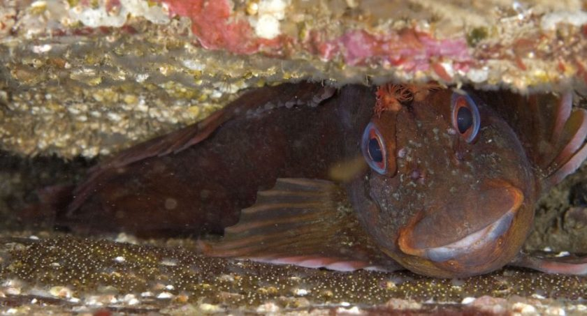 Tompot blenny, single with eggs 1