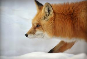 fox-ben-zornes