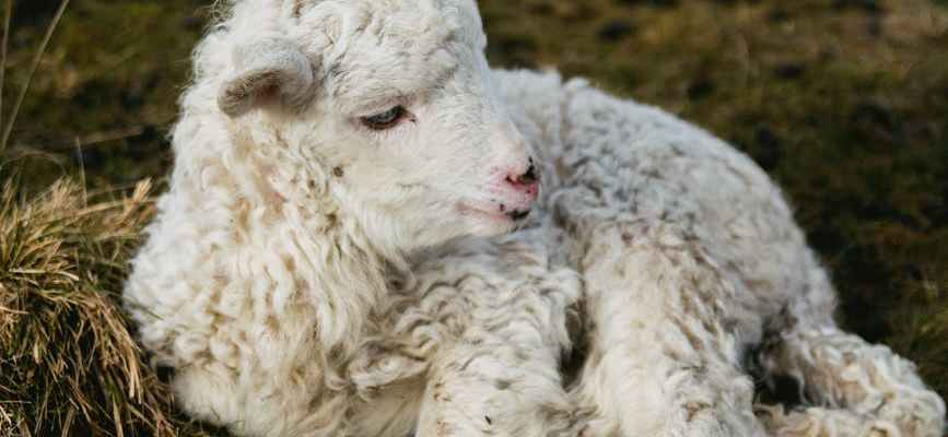 The Shepherd Gathers in His Sheep