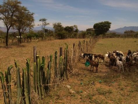 Lebende Zäune schützen mehr oder weniger private Gebiete vor der Überweidung.