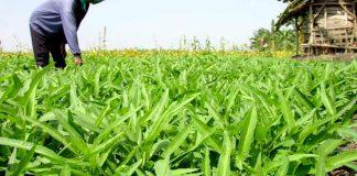 budidaya tanaman kangkung