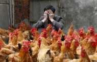 У Китаї зооактивісти влаштували святковий обід для врятованої з-під ножа курки