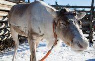 Блог журналиста. Выборы в Бердичевском районе: увези меня олень… куда нибудь!