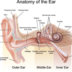 Throat Anatomy Diagram Msd Wiring Hei The Interconnected World Of Ear Nose And Bergerhenry