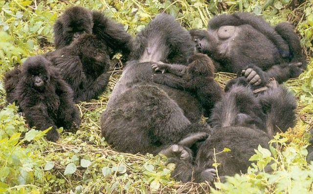 What do Gorillas do all day