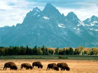 Bison Grazing, Grand Teton National Park Wyoming.jpg