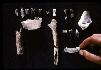 Resultado de imagem para ardipithecus kadabba