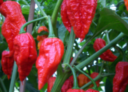 Dangerous Food - Bhut Jolokia on plant