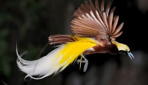 paradise bird II