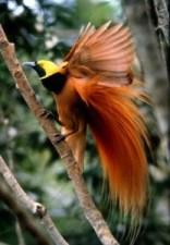 PNG Paradise Bird 2