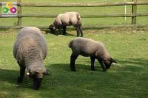 Bauernhof Schafe