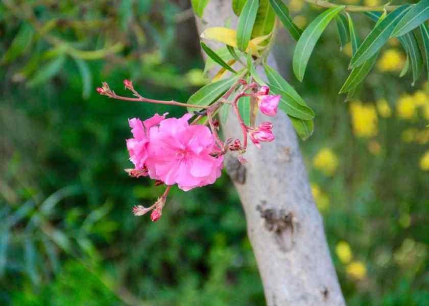 Überall blüht der Oleander. Und zwar viel größer als der im heimischen Blumentopf auf dem Balkon.
