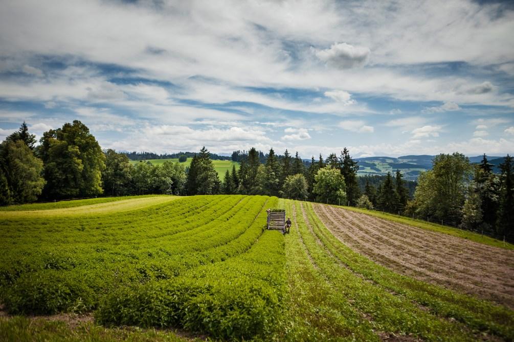 Schweiz: Kräuteranbau für Ricola (Foto: Ricola)