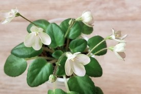 Morgan's Sweet Patootie ist eine amerikanische Miniatursorte mit schönen kleinen lachsfarbenen Glockenblüten und sehr zartem Laub