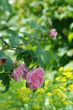 Alba Rose Königin von Dänemark