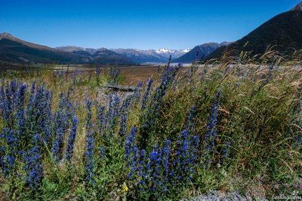 In den Alpen Neuseelands wächst im Sommer der blaue Natternkopf Echium vulgare
