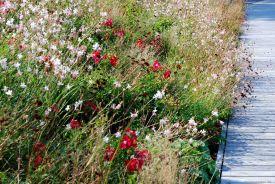 So schön kann Böschungsbepflanzung sein: Bodendeckerrosen in Kombination mit Gaura lindheimeri und Cosmea (nicht winterhart)