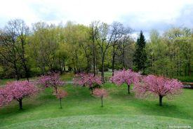 Baumblüte der Nelkenkirsche Prunus Kanzan