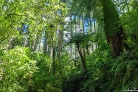 Grüne Giganten: Baumfarne und Redwood-Mammutbäume. Die Farne sind sehr typisch für Neuseeland und werden häufig als Emblem genutzt