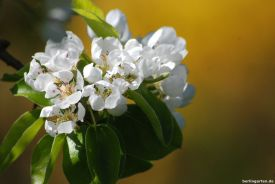 Strahlend weiße Birnbaumblüte