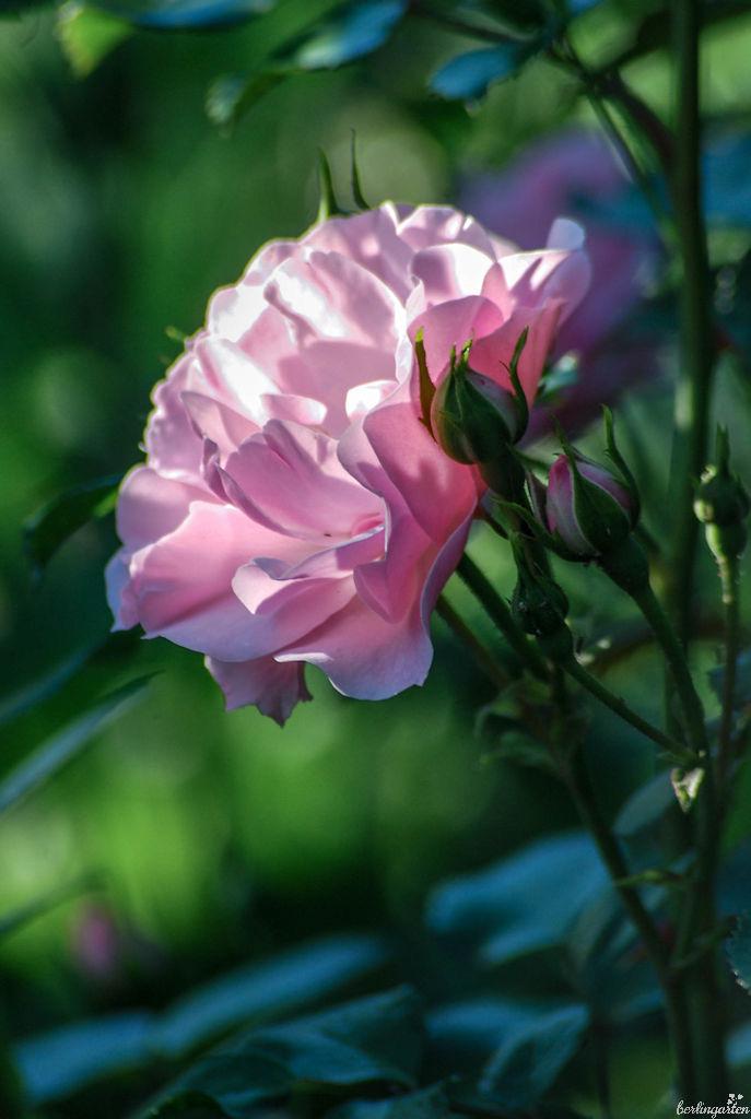 Zarte Blüte im weichen Licht: Bonica ist eine romantische Rose
