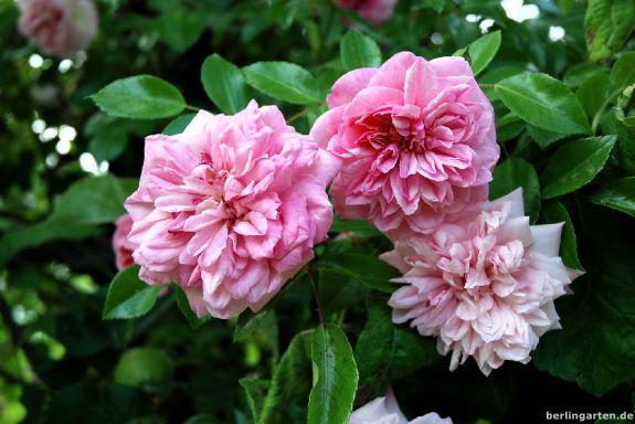 Blüte Paul Noel