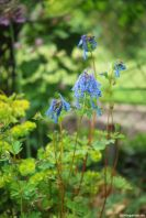 Blauer Lerchensporn Corydalis Blue Panda