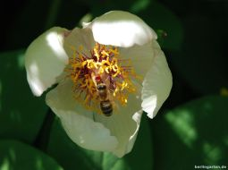 Butterpäonie