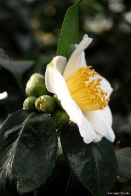 Goldene Staubgefäße: Camellia Kyo Nishiki