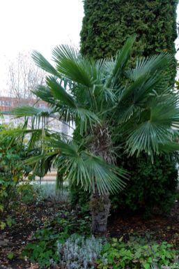 Sie ist die auffälligste Pflanze im Orientalischen Garten: die Chinesische Hanfpalme