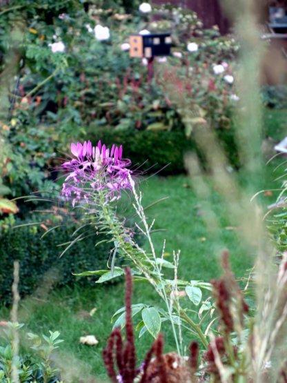 Die Spinnenblume Chleome hat die Rolle vom Phlox übernommen und setzt einen lila Farbklecks
