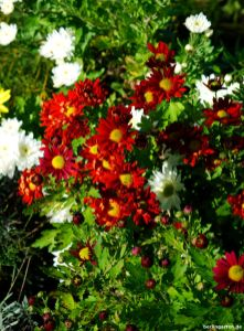 Chrysantheme orange