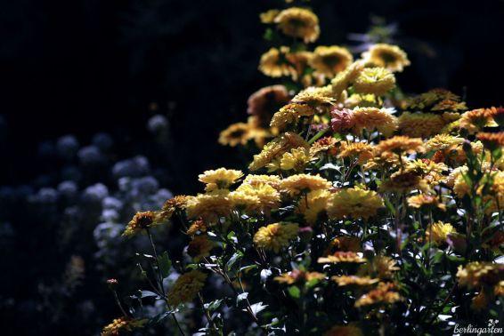 Staudentipp: Passend zu den leuchtenden Quitten sind Chrysanthemen in gelb