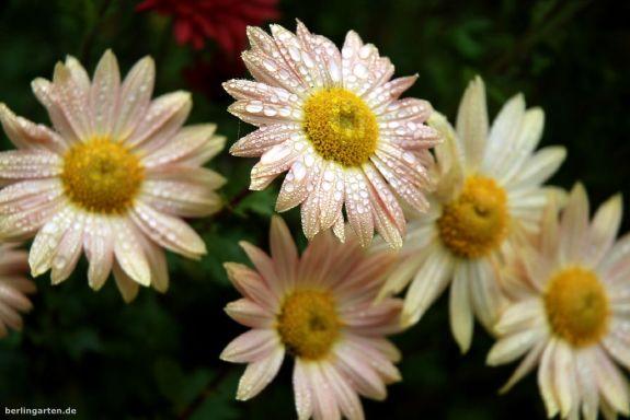 Chrysanthemum indicum Isabella Rosa